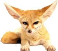 R8 - Fennec Fox